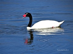 Blacknecked swan (pamelamacchiavello) Tags: swan bird waterbird blcakneckedswan cahuil chile