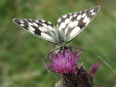 Pit Stop (Kevin Pendragon) Tags: butterfly marbled white black thistle pink grass grassland summer sunshine outdoors nature wings flight insect