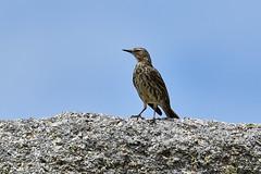 Pipit maritime (ijmd) Tags: france bretagne porspoder presqu'îlesaintlaurent oiseau bird