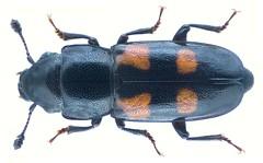 Glischrochilus quadripunctatus (Linné, 1758) (urjsa) Tags: coleoptera käfer beetle insect nitidulidae glischrochilus quadripunctatus glischrochilusquadripunctatus germany deutschland europe taxonomy:binomial=glischrochilusquadripunctatus taxonomy:family=nitidulidae taxonomy:genus=glischrochilus taxonomy:species=quadripunctatus geo:country=germany coleopteraus kaefer insekt europa