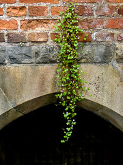 Hanging Loose (Steve Taylor (Photography)) Tags: architecture wall black green brown brick uk gb england greatbritain unitedkingdom london texture elthampalace plant weed leaves creeper arch