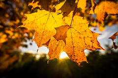 Maple Sunset (Nicholas Erwin) Tags: mapleleaves leaves leaf sunset nature naturephotography autumn october harvest sunny sunrays bokeh depthoffield dof contrast nikon d610 nikkor 2018g waterbury vermont vt unitedstatesofamerica usa america fav10 fav25 fav50