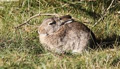 Kanin (J-Bild) Tags: kanin