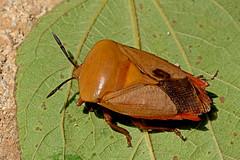 Tessaratoma papillosa - the Lychee Stink Bug (BugsAlive) Tags: bug bugs animal outdoor insect hemiptera macro nature pentatomidae tessaratomapapillosa lycheestinkbug tessaratominae wildlife liveinsects laos