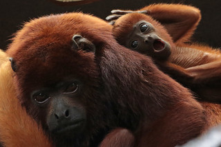 red howlermonkey Apenheul BB2A9260