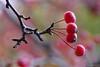 Autumn Blast (Vie Lipowski) Tags: malusfloribunda japanesefloweringcrabapple minicrabapple redcrabapple fruit autumn wildlife nature macro