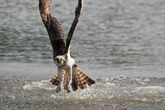 Osprey (Pandion haliaetus) (Baldyal) Tags: bird bif raptor wildlife water lake venuspool shropshire