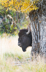 Yellowstone Bison Explored (Jami Bollschweiler Photography) Tags: yellowstone bison behind trees fall autumn beautiful wildlife photography lamar valley buffalo