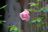 Pink Rose 1 (100) (celia.mulhearn) Tags: sigma100400mmf563dgoshsm rose queenelizabeth