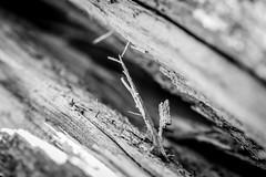 Between the walls (Quetzalcoalt0) Tags: branch stick wood between walls 6d wall canon 100mm macro f28 close black white tree