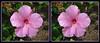 Longwood Gardens Flowers 18 - Parallel 3D (DarkOnus) Tags: pennsylvania bucks county panasonic lumix dmcfz35 3d stereogram stereography stereo darkonus longwood gardens flowers scenic scenery flower botanical garden popout ttw parallel
