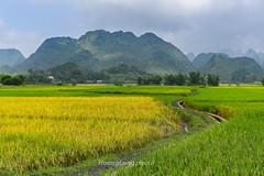 _Y2U0588.0917.TL206.Chí Viễn.Trùng Khánh.Cao Bằng (hoanglongphoto) Tags: asia asian vietnam northvietnam northeastvietnam landscape scenery vietnamlandscape vietnamscenery vietnamscene caobanglandscape ricefields fields harvest harvestingseason canon đôngbắc caobằng trùngkhánh chíviễn tl206 phongcảnh phongcảnhcaobằng đồnglúa lúachín mùagặt caobằngmùalúachín caobằngmùagặt canoneos1dx canonef2470mmf28lisiusmlens
