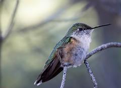 Frequent visitor. (Kerstin Winters Photography) Tags: nikondigital nikondsl albuquerque newmexico flickr flickrnature naturephotography naturfotografie fauna bird vogel outdoor hummingbirds