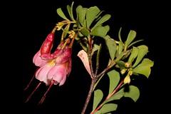 Homoranthus thomasii (andreas lambrianides) Tags: homoranthusthomasii myrtaceae homoranthus australianflora australiannativeplants pinkflowers endangeredspecies qld nsw