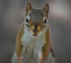 Dr. Sinister Ready For Battle! (DaPuglet) Tags: squirrel squirrels animal animals redsquirrel red nature wildlife funny mammal fur sunrays5 coth coth5 specanimal specanimalphotooftheday
