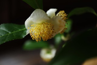 Flower of tea plant - Camellia sinensis 京都 泉涌寺 雲龍院