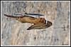 Gypaète 171018-03-RP (paul.vetter) Tags: oiseau ornithologie ornithology faune animal bird gypaètebarbu gypaetusbarbatus bartgeier quebrantahuesos beardedvulture vautour rapace