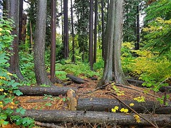 The wet woods (walneylad) Tags: westlynn lynnvalley northvancouver britishcolumbia canada park parkland forest rainforest urbanforest woods woodland october fall autumn afternoon trail trees leaves ferns clouds rain wet green yellow brown nature scenery view