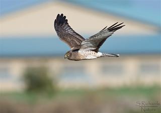Northern harrier, male