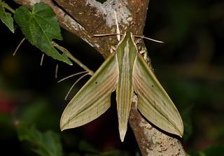 Cechenena lineosa moth ?