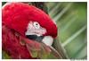 (c) Green Winged Macaw (wesjr50) Tags: sony rx10 iv macaw captive flash staugustinealligatorfarm staugustineflorida mirrorless camera photoshop cc dxo optics pro topaz denoise