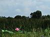 Reedbed with Sacred Lotus (tinlight7) Tags: lotus sacredlotus reedbed wetland river water mekong mekongdelta vietnam wildflowers pink taxonomy:kingdom=plantae plantae taxonomy:subkingdom=tracheophyta tracheophyta taxonomy:phylum=magnoliophyta magnoliophyta taxonomy:class=magnoliopsida magnoliopsida taxonomy:order=proteales proteales taxonomy:family=nelumbonaceae nelumbonaceae taxonomy:genus=nelumbo nelumbo taxonomy:species=nucifera taxonomy:binomial=nelumbonucifera nelumbonucifera ハス 蓮 荷花 flordeloto lotussacré taxonomy:common=sacredlotus taxonomy:common=ハス taxonomy:common=蓮 taxonomy:common=荷花 taxonomy:common=flordeloto taxonomy:common=lotussacré inaturalist:observation=8540293