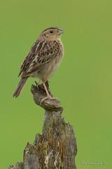 Grasshopper Sparrow on a stump (Earl Reinink) Tags: bird animal nature nikon earl reinink earlreinink song songbird perch sparrow grasshoppersparrow iiododidoa