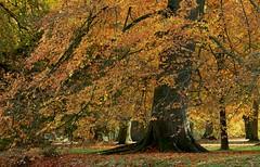 Bunter Herbst (Petra Runge) Tags: park baum herbst farben landschaft autmn color landcape tree nature natur buche beech
