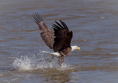 Got It !!! (tresed47) Tags: 2017 201711nov 20171102conowingoeagles birds canon7d conowingo content eagle fall folder maryland november peterscamera petersphotos places season takenby us