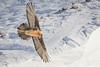 Full Sail (grey_tie) Tags: switzerland wild vulture beardedvulture alps