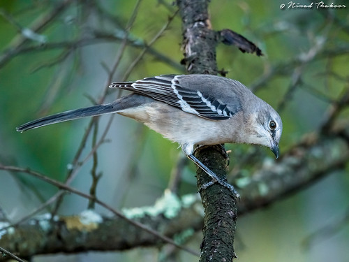 """Northern Mockingbird • <a style=""""font-size:0.8em;"""" href=""""http://www.flickr.com/photos/59465790@N04/26147886299/"""" target=""""_blank"""">View on Flickr</a>"""