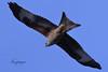 nibbio reale (Tonpiga) Tags: tonpiga uccelliinlibertà faunaselvatica predatore rapace milvusmilvus nibbioreale