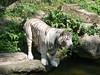 White Tiger - Tigre bianca (Giancarlo Catania) Tags: asia singaporezoo singapore whitetiger tigrebianca