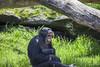 Chimpanze (pradeep2471989) Tags: wildlife wildlifephotography birdwatching birdsofaustralia birdlife tarongazoo canon5dmk2 canon100400ii telephotolens