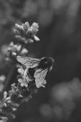 . (Josieroo13) Tags: nature wildlife bee bees lavender wild englishcountrygarden flora fauna flowers flower blackandwhite monochrome bumblebee