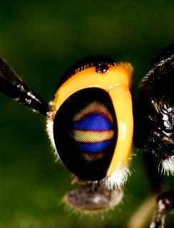 Nunca tinha achado um inseto com o olho tão bonito Parece q tem a bandeira do Brasil desenhada Mosca soldado, Cyphomyia sp, fêmea da família (Stratiomyidae: Clitellariinae).