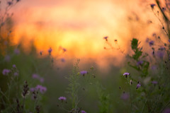 wild (Marc McDermott) Tags: wild summer plants flowers nature sunset golden warm canada ef135mmf2lusm growth