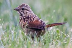 Song Sparrow (Life of David) Tags: california camarillo canon5dmarkiv usa backyard beautiful beauty bird nature melospizamelodia song sparrow songsparrow world100f