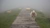 Road block ... (Alex Verweij) Tags: knardijk lelystad polder gras sheep schaap schapen road track fietspad bike fietsen alexverweij canon 5 d 5d