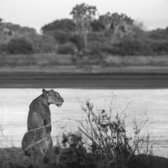 Samburu, Kenya. (Raúl Barrero fotografía) Tags: lion samburu kenya wild