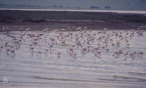 Greater flamingo. Ngorongoro crater lake