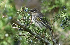 Berry Picking (hd.niel) Tags: yellowrumped warbler fall warblers nature wildlife photography berries