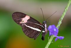 Broken wing (www.petje-fotografie.nl) Tags: blijdorp ptjefotografie macro vlinders