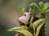 Outubro Rosa (Leonardo Martins) Tags: floe flower outubrorosa planta natureza rose nature plant pink pinkoctober passarinho bird pássaro ave pintinho cacto cactus bico