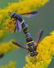 Spilomyia Syrphid Flies Mating (milesizz) Tags: spilomyiasayi diptera milwaukee wisconsin wi aschiza syrphidae syrphidflies eristalinae milesiini