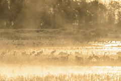Sandhill Cranes-48835.jpg (Mully410 * Images) Tags: burnettcounty birding crexmeadowsstatewildlifearea sandhillcranes crexmeadows birds nikon sedgemarsh trees silhouette d4 golden bird fog crane birdwatching sunrise wisconsin