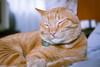 Little Joey in deep mantra 💤 (stratman² (2 many pix!)) Tags: canonphotography eos450d ef40mmf28stm iso640 catmoments orangecats neko chat gato kitteh tabbycats moggies domesticshorthair littlejoey cc100
