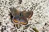 Plebejus argus (Olli_Pihlajamaa) Tags: animalia arthropoda hexapoda insecta invertebrata lepidoptera lycaenidae papilionoidea plebejus plebejusargus eläinkunta female hyönteiset kangassini kangassinisiipi kuusijalkaiset niveljalkaiset perhoset päiväperhoset selkärangattomat sinisiipiset