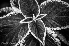 MonoColeus: This is a close-up of one of my Coleu ... (CharlesSmithPhotography) Tags: 500px leaves macro contrast plants leaf plant black white monochrome garden gardening decorative landscaping coleus