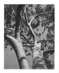 Tree 665 (mortiemctavern) Tags: roidweek2017 polaroid type665 blackandwhite day21 polaroid180 peelapart